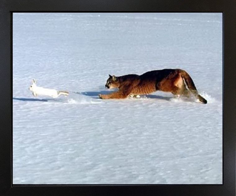 Wall Decor Cougar Chasing Rabbit in Snow Wildlife Animal Black Framed Art Print Picture (18x22)
