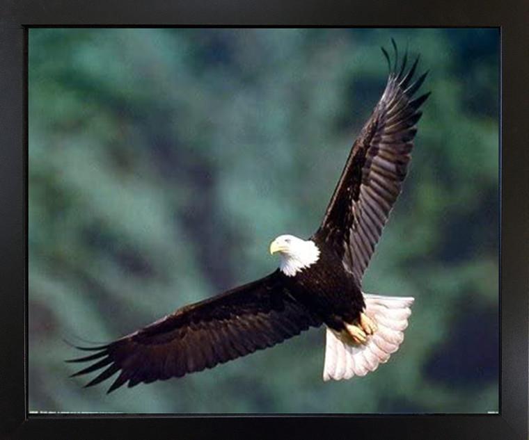 Bald Eagle Flying Bird Motivational Wildlife Animal Wall DecorBlack Framed Art Print Picture (18x22)