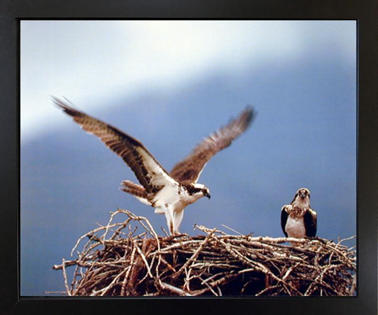 Wall Decoration Picture Osprey Eagle (Seahawks) Birds Nest Animal Black Framed Art Print (18x22)