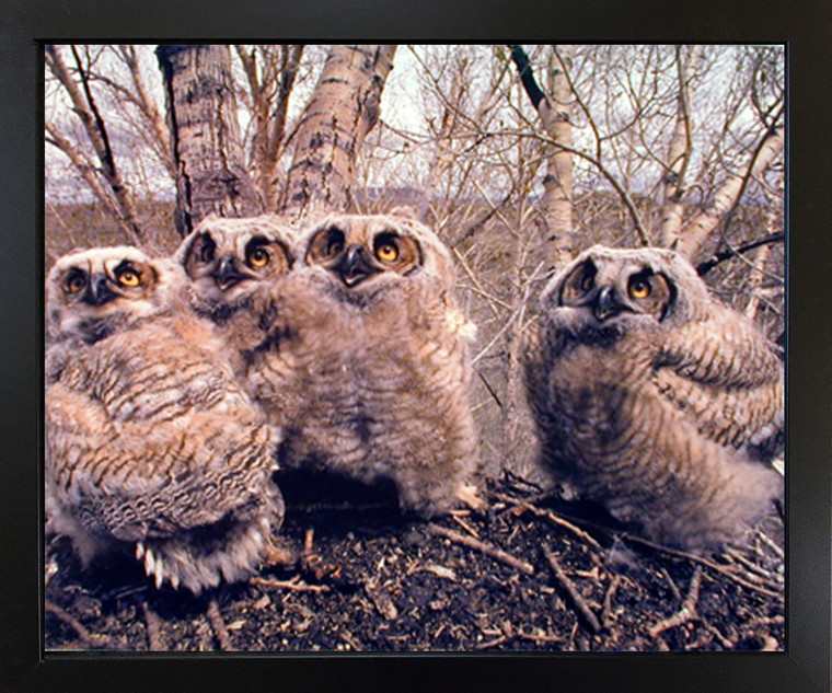 Impact Posters Gallery Great Horned Owlets (Owls) Wild Bird Wall Decor Black Framed Picture Art Print