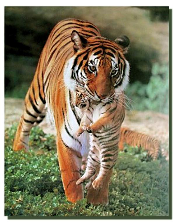 Tigress and Cub Poster