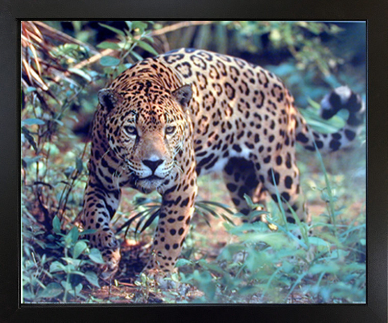 Impact Posters Gallery Jaguar (Panthera, Leopard) Prowling Cat Wildlife Animal Black Framed Wall Decor Art Print Picture