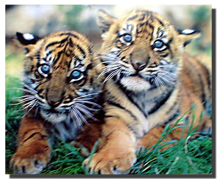 Sumatran Tiger Cubs Poster