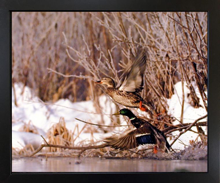 Black Framed Wall Decor Pair of Wild Mallard Ducks (Flying) Bird Framed Picture Art Print (18x22)