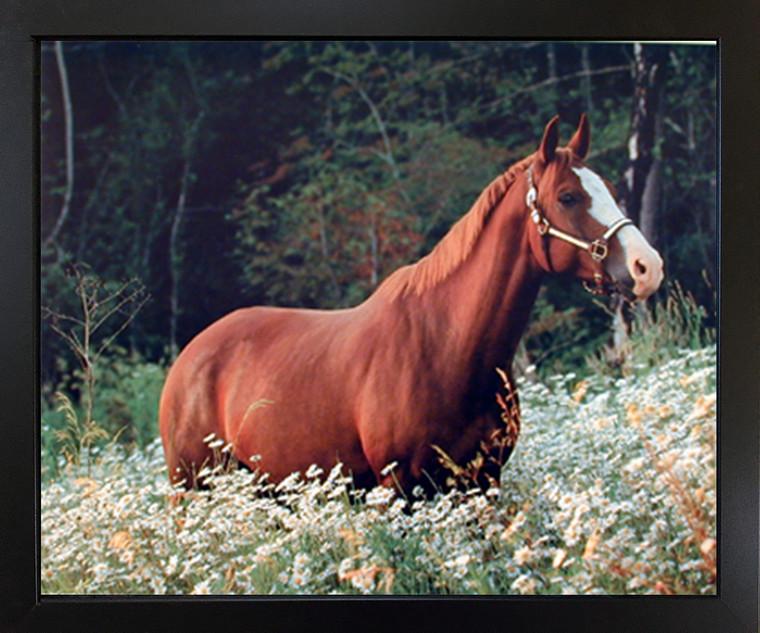 Caspian Horse in Daisy Field Wildlife Animal Wall Black Framed Picture Art Print(18x22)
