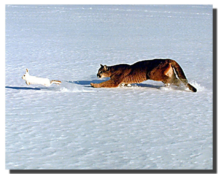 Cougar Chasing Hare Poster