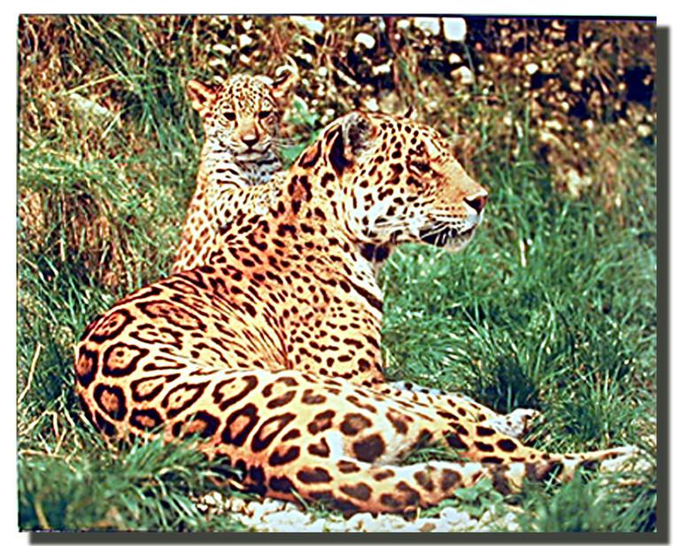 Jaguar and Cub Poster