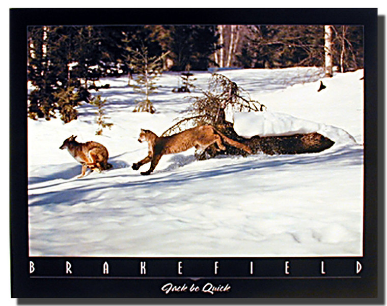 Cougar Chasing Coyote Print and Posters