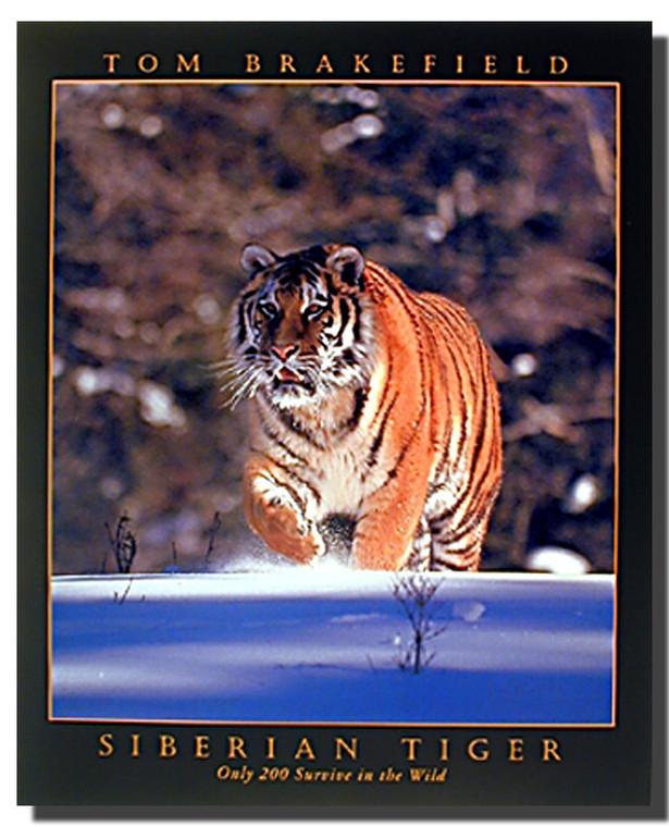 Siberian Tiger Walking Poster