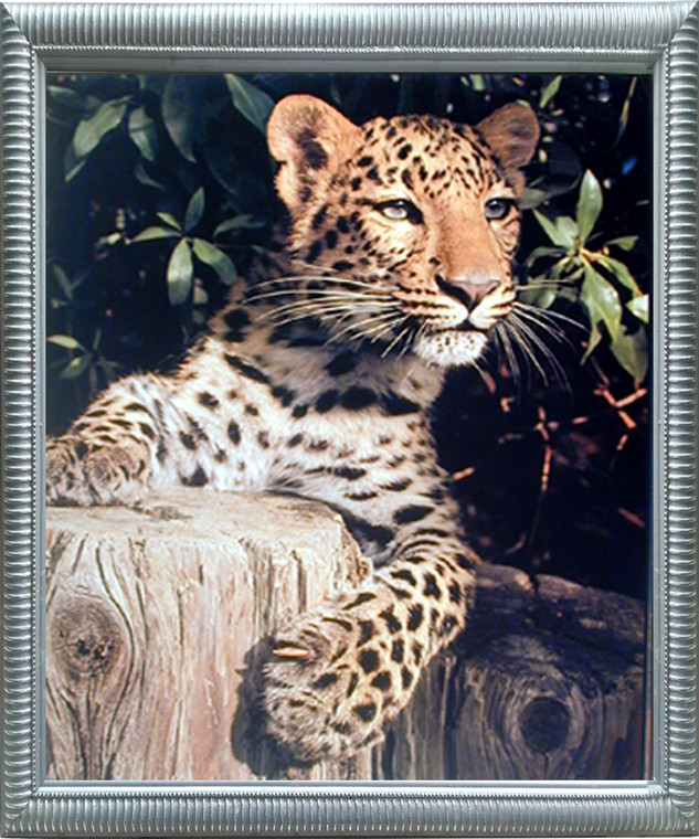 Impact Posters Gallery Jaguar Picture Framed Wall Decoration Leopard (Panther, Big Cat) Wild Animal Silver Art Print (20x24)