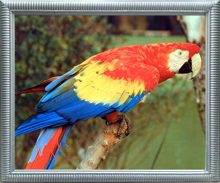 Impact Posters Gallery Red Macaw Parrot Bird Animal Kids Room Wall Decor Silver Framed Art Print Picture (20x24)