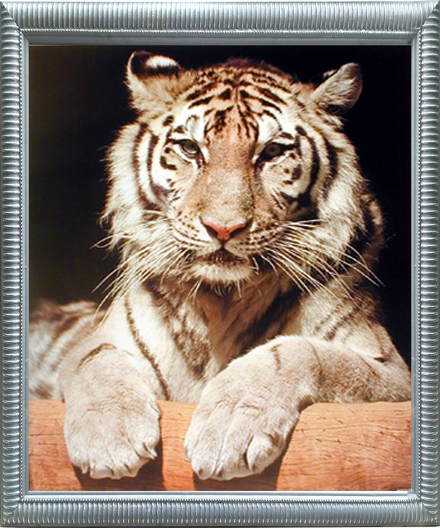 Framed Wall Decor White Bengal Tiger Close-up Wildlife Feline Animal Silver Picture Art Print (20x24)