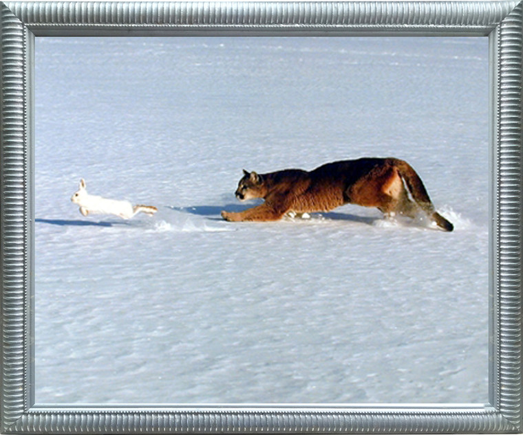 Framed Wall Decor Picture Cougar Chasing Rabbit in Snow Wildlife Animal Silver Art Print