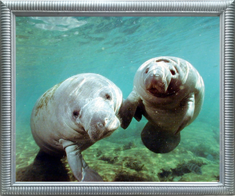 Framed Wall Decoration Pair of Manatee Doug Perrine Ocean Animal Silver Framed Art Print Picture (18x22)