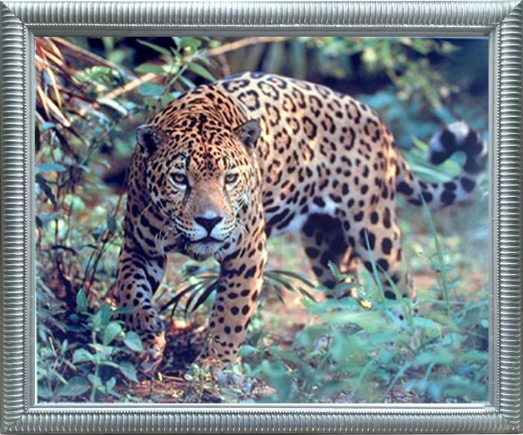 Jaguar (Panthera, Leopard) Prowling Cat Wildlife Animal Wall Decor Silver Framed Art Print Picture