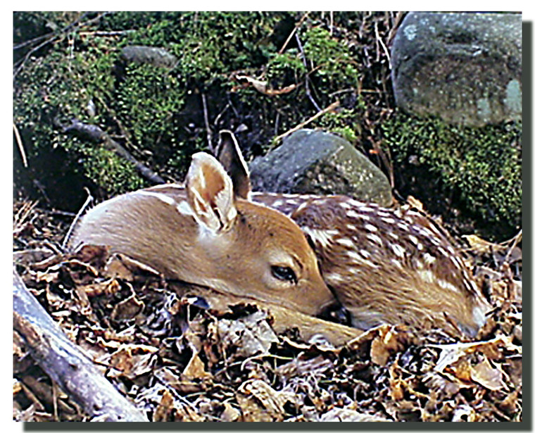 White Tailed Fawn Poster