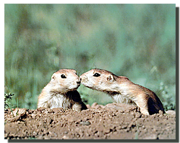 Prairie Dogs Kissing Poster