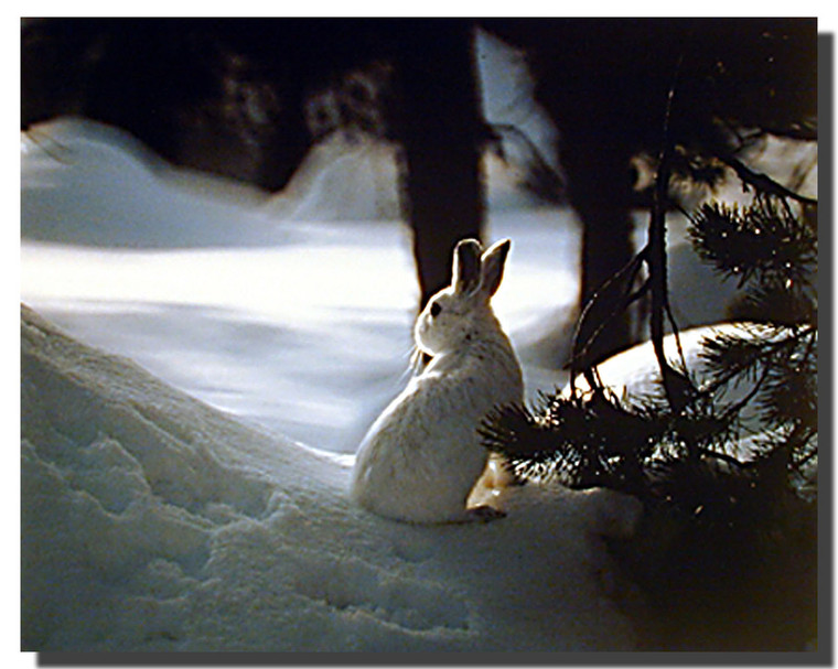 Snowshoe Hare Poster