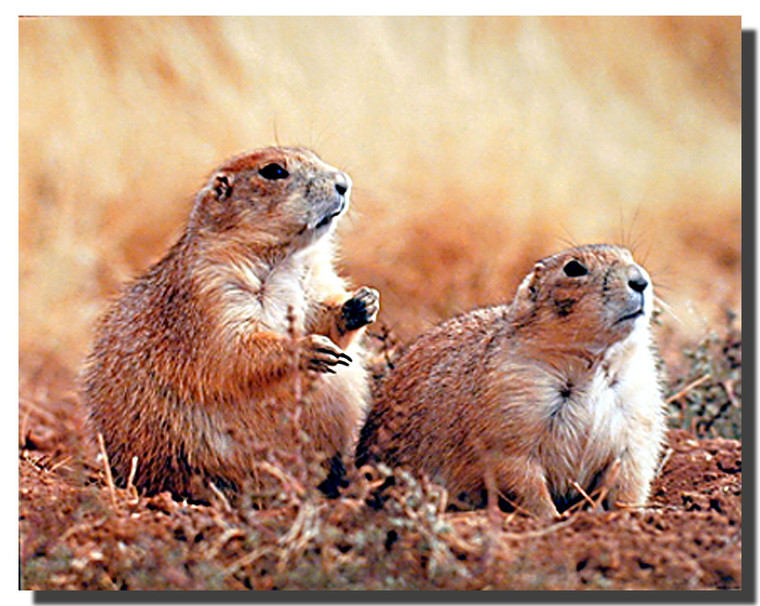 Prairie Dogs Poster