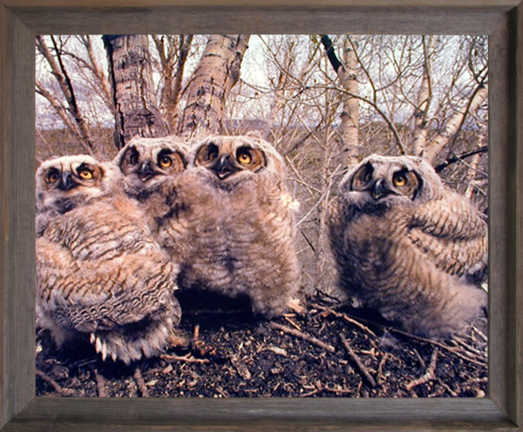 Impact Posters Gallery Great Horned Owlets (Owls) Wild Bird Barnwood Art Print Framed Wall Decoration (19x23)