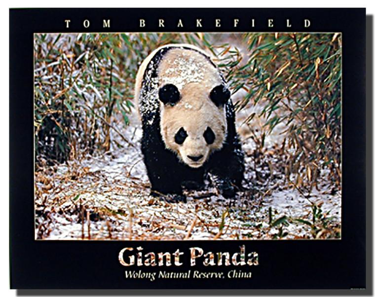 Giant Panda in Snow Poster