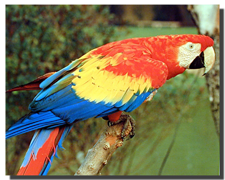 Macaw Parrot Bird Posters