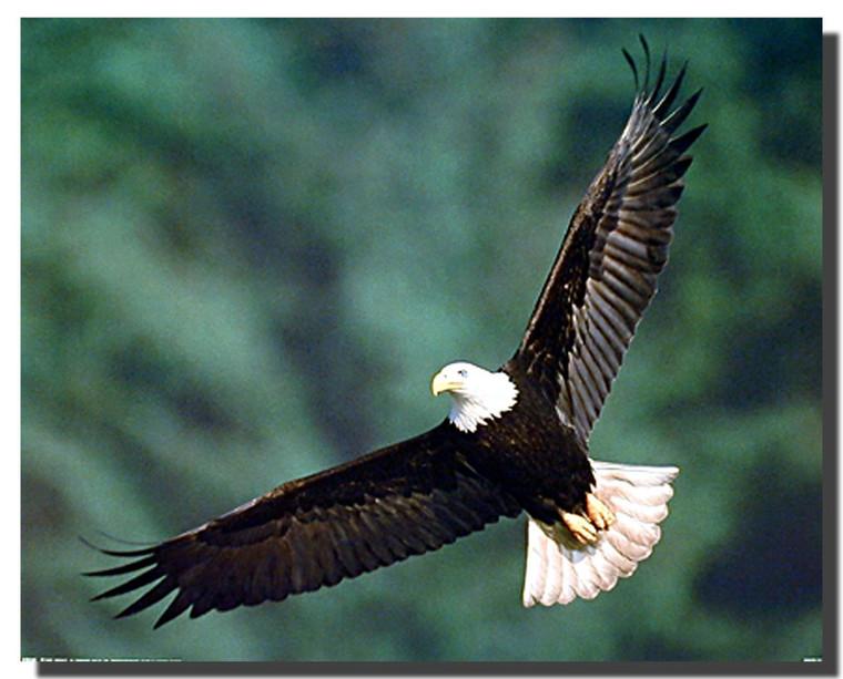 Bald Eagle Art Posters