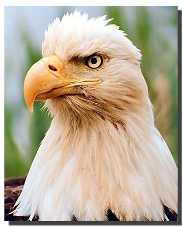 Bald Eagle Head Posters