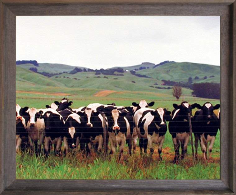 Country Cows Herd Holsteins Dairy Pasture Wall Decor Picture Farm Animal Barnwood Framed Art Print (19x23)