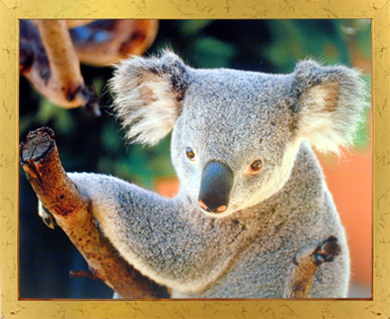 Impact Posters Gallery Koala Bear Holding a Tree Kids Room Picture Art Print Framed Wall Decoration (18x22)