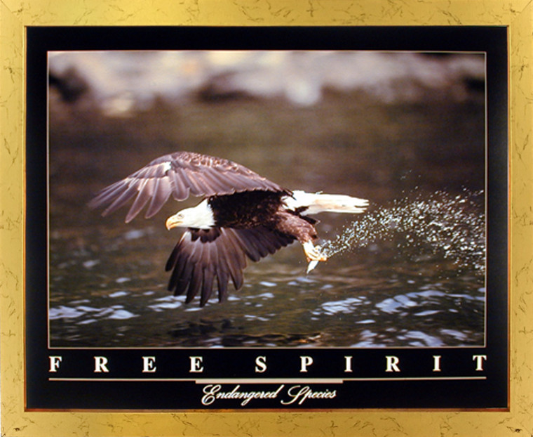 Impact Posters Gallery Bald Eagle Flying Over River Free Spirit Bird Golden Framed Picture Art Print Framed Wall Decoration (18x22)