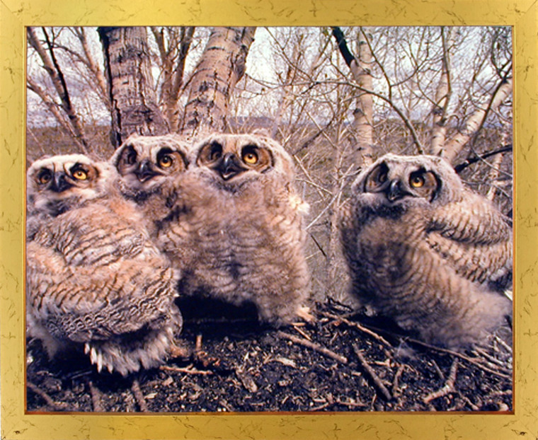 Great Horned Owlets (Owls) Wild Bird Golden Framed Art Print Picture Wall Decor (18x22)