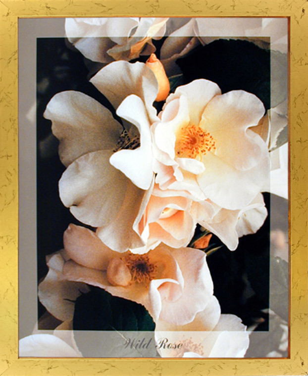 Impact Posters Gallery Wild Rose Flowers Floral Golden Picture Art Print Framed Wall Decoration