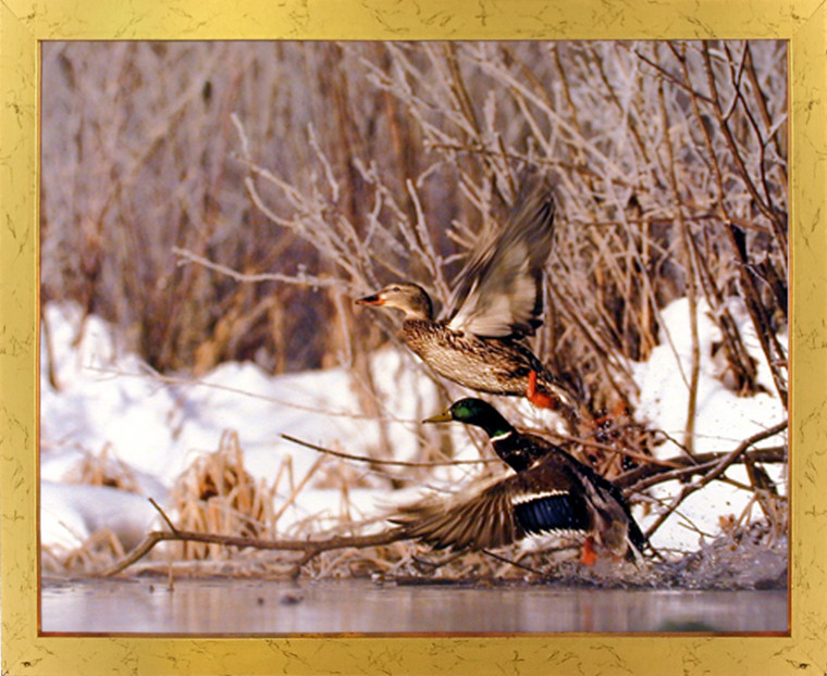 Impact Posters Gallery Framed Wall Decor Pair of Wild Mallard Ducks (Flying) Bird Golden Framed Picture Art Print