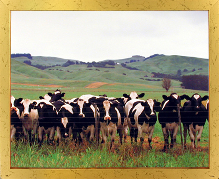 Impact Posters Gallery Country Cows Herd Holsteins Dairy Pasture Farm Animal Golden Art Print Framed Wall Decoration Picture