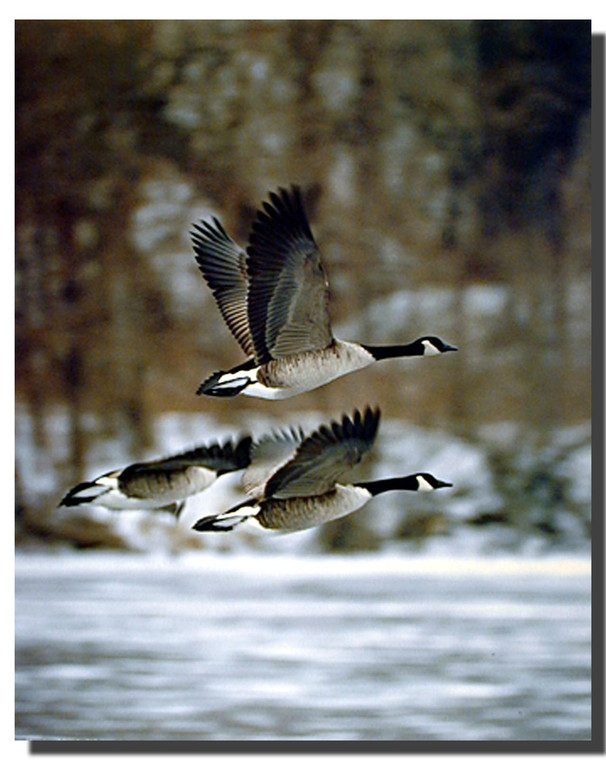 Canada Geese in Flight Picture