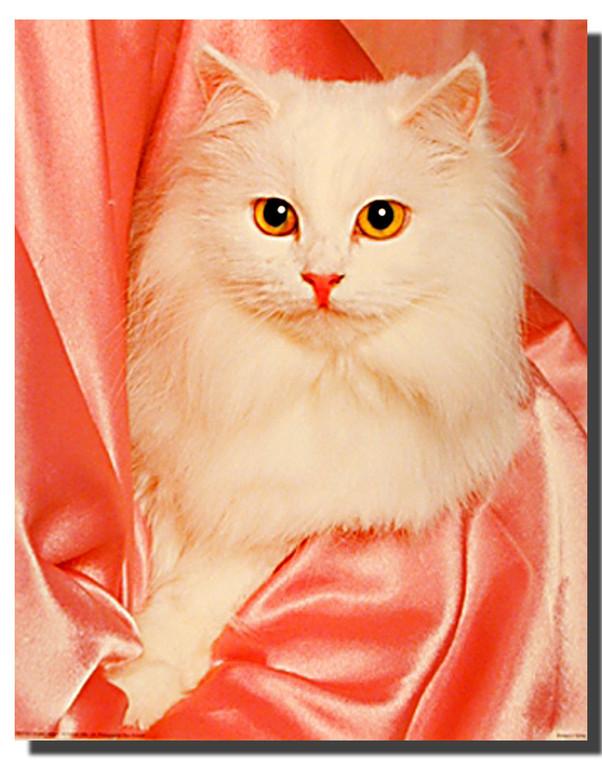 Pink Satin Cat Poster