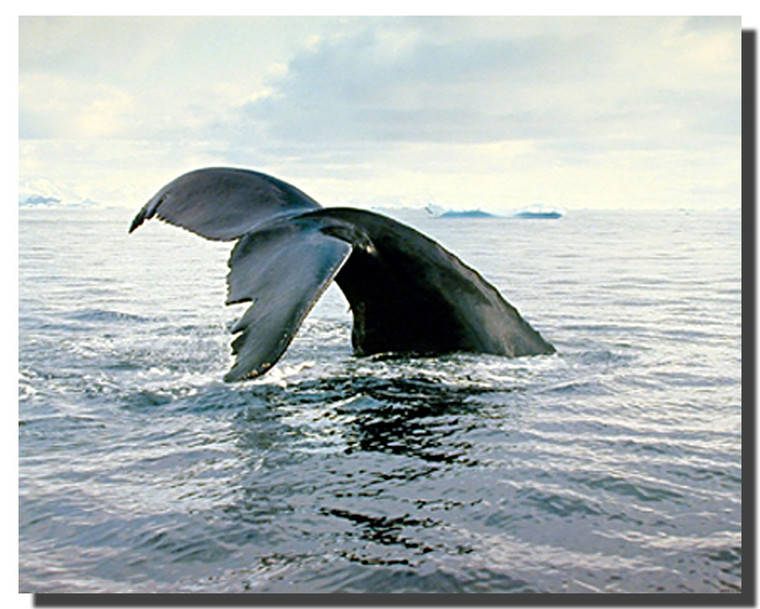 Humpback Whale Breaching Pictures