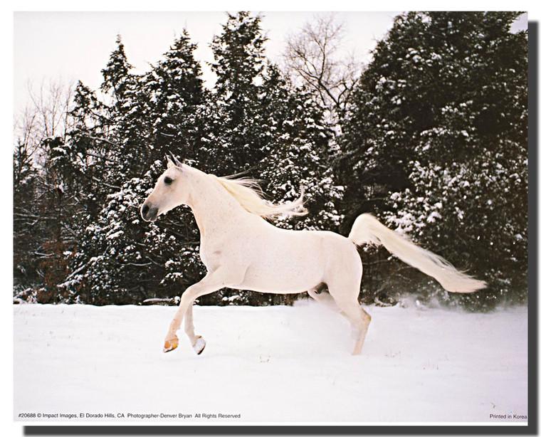 Horse Poster - Arabian Stallion