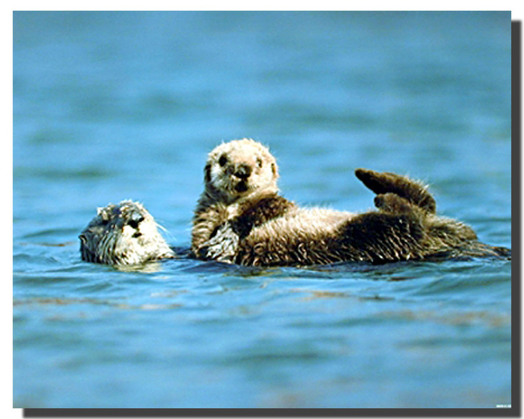Sea Otter and Pup Poster