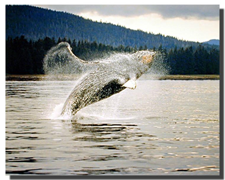 Humpback Whale Art Print Posters