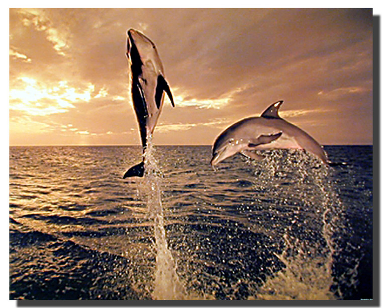 Bottle nose Dolphins Freedom Dance Posters