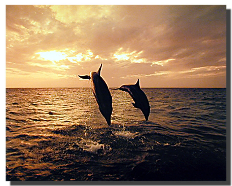 Bottle nose Dolphins Silhouettes Posters