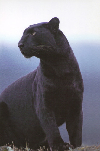 Black Panther Wildlife Big Cat