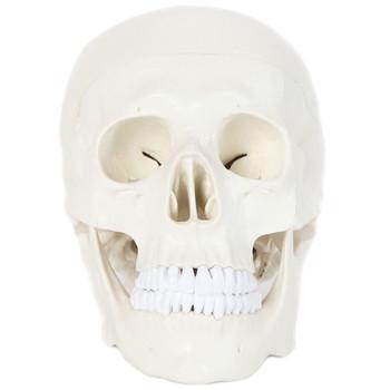 Anatomy Lab Essential Life-Size Skull (A-106653)