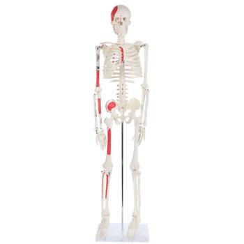 Anatomy Lab Essential Painted Mini Skeleton (A-106651)
