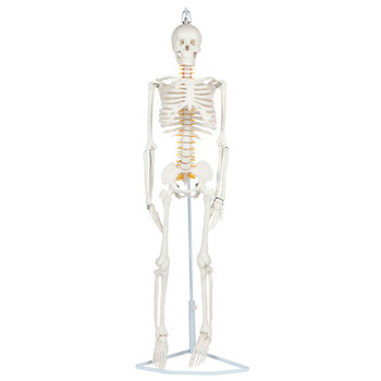 Anatomy Lab Essential Flexible Mini Skeleton (A-106772)
