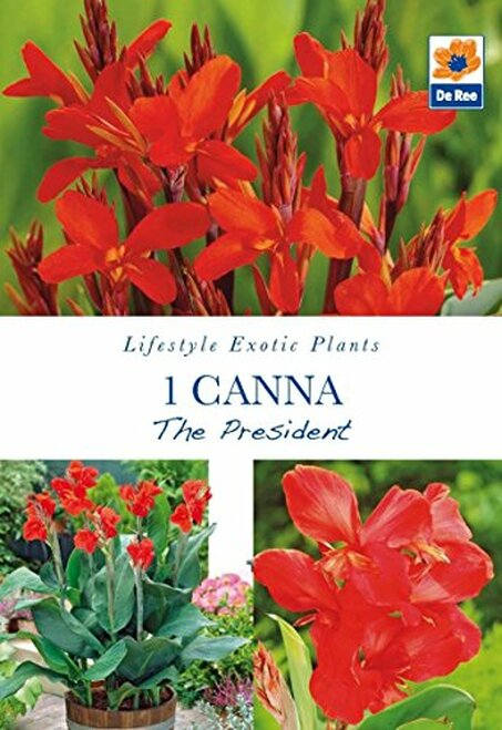 Pack of Lifestyle Exotic Plants Collection Bulbs - 1 Canna, The President