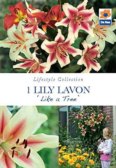 Lily Like a Tree LAVON, Yellow Flowers with a Pink Centre (1 Bulb)