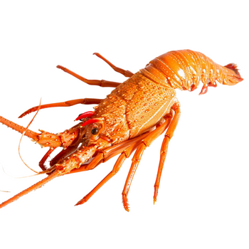 Fresh Whole Cooked Large Rock Lobster